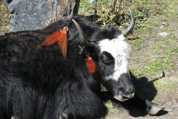 Langshisa Ri peak climbing Nepal